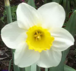 April is Daffodil month